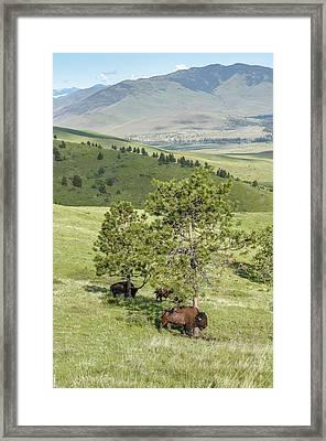 Large Plains Bison Bull Rubbing His Shoulder Against A Pine Tree Framed Print