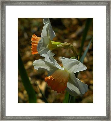 Late Day Daffodils Framed Print by Lori Seaman