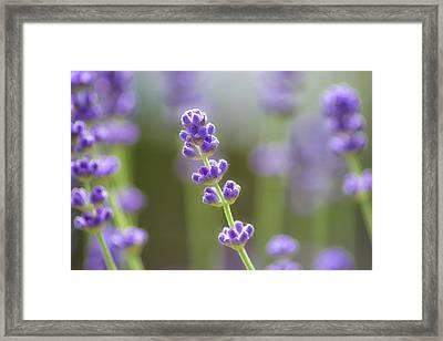 Lavender Framed Print by Martin Newman