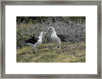 Laysan Albatross Hawaii #2 Framed Print