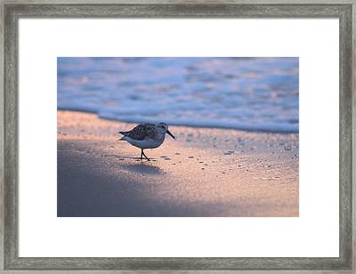 Framed Print featuring the photograph Least Sandpiper At Dawn by Robert Banach