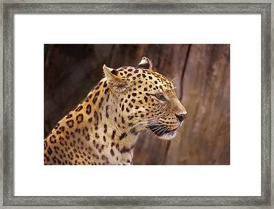 Framed Print featuring the photograph Leopard by Donald Paczynski