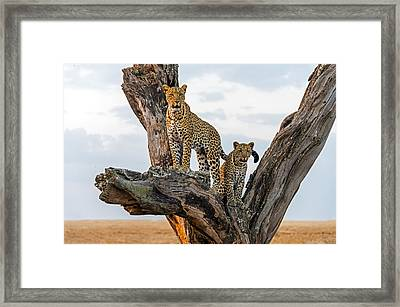 Leopard Panthera Pardus Family On Tree Framed Print by Panoramic Images