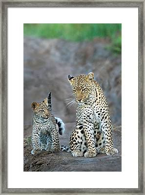 Leopard Panthera Pardus Family Framed Print by Panoramic Images
