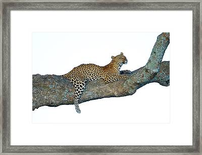 Leopard Panthera Pardus Sitting Framed Print by Panoramic Images