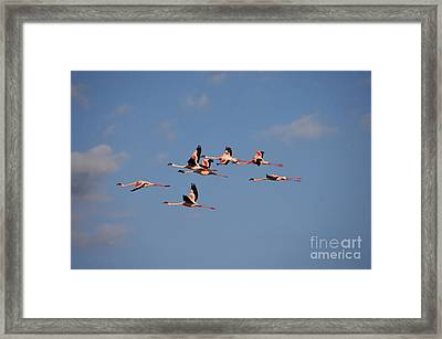 Lesser Flamingo Phoenicopterus Minor Framed Print by Gerard Lacz