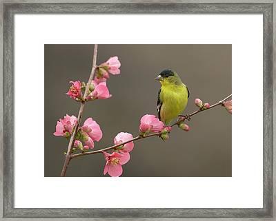 Lesser Goldfinch Framed Print by Doug Herr