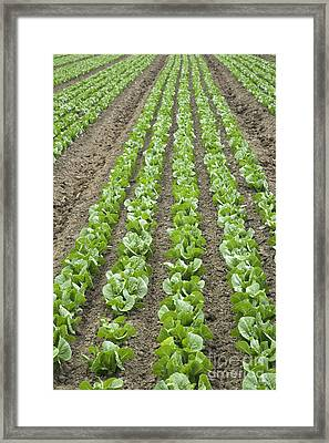 Lettuce Field Framed Print by Inga Spence