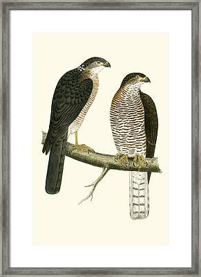 Levant Sparrow Hawk Framed Print by English School