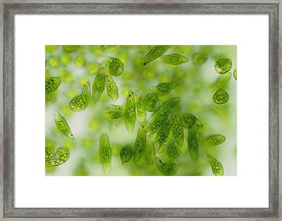 Light Micrograph Of A Group Of Euglena Gracilis Framed Print