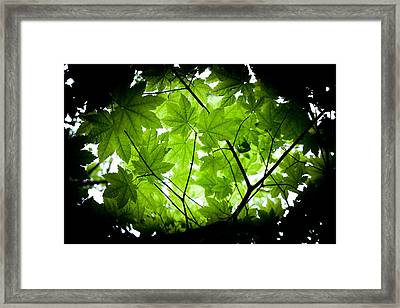 Light On Maple Leaves Framed Print by Jonathan Hansen