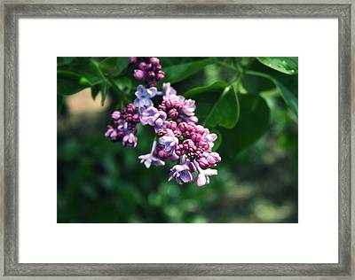 Lilac Framed Print by Cathie Tyler