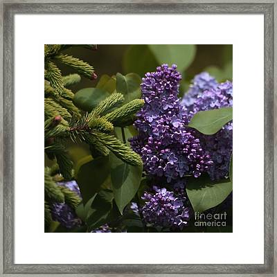 Lilacs In Bloom Framed Print by Marjorie Imbeau