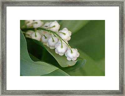 Lily Of The Valley Framed Print by Rodger Werner