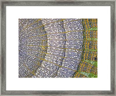 Lime Tree Stem, Light Micrograph Framed Print by Steve Gschmeissner