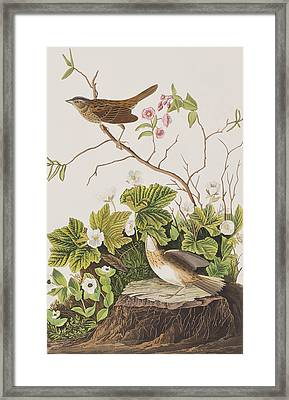 Lincoln Finch Framed Print