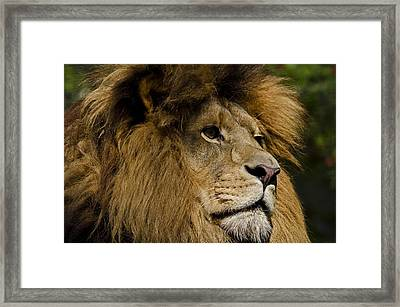 Lion Gaze Framed Print by JT Lewis