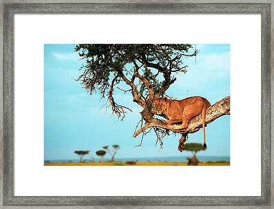 Lioness In Africa Framed Print