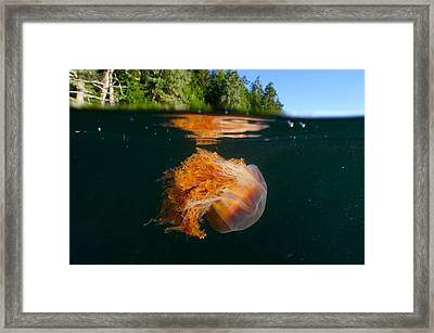 Lions Mane Jellyfish Swimming Framed Print by Paul Nicklen