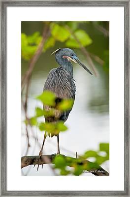 Little Blue Heron Framed Print