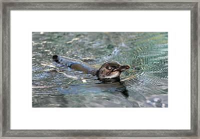 Little Penguin In The Water Framed Print