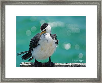 Little Pied Cormorant I Framed Print by Cassandra Buckley
