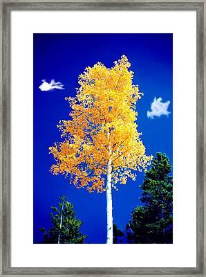 Lone Golden Aspen Framed Print