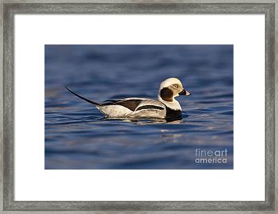 Long-tailed Duck Framed Print by Jules Cox/FLPA