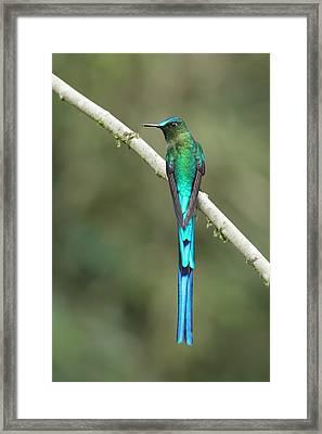 Long-tailed Sylph In Ecuador Framed Print