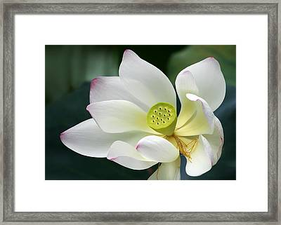 Lotus Diva Framed Print