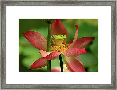 Lotus Flower Framed Print