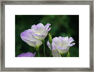 Framed Print featuring the photograph Lovely Lisianthus by Byron Varvarigos