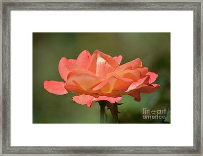 Lovely Rose Framed Print by Ruth Housley