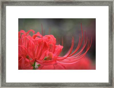 Lycoris Radiata Framed Print