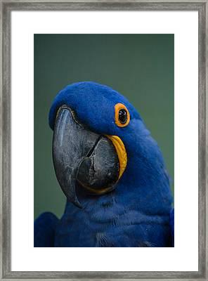 Macaw Framed Print by Daniel Precht