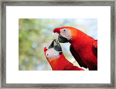 Macaws Framed Print