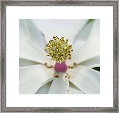 Magnolia Bloom Framed Print by Rich Franco