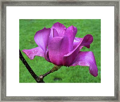 Framed Print featuring the photograph Magnolia by Catherine Lau