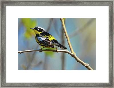 Magnolia Warbler IIi Framed Print