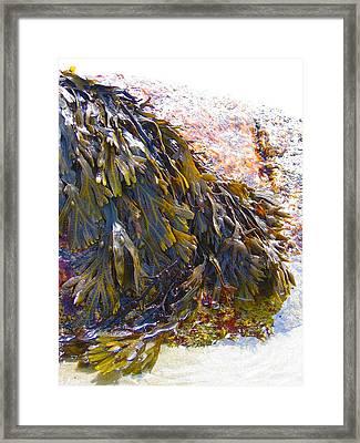 Maine Seaweed 6 Framed Print by Christine Dion