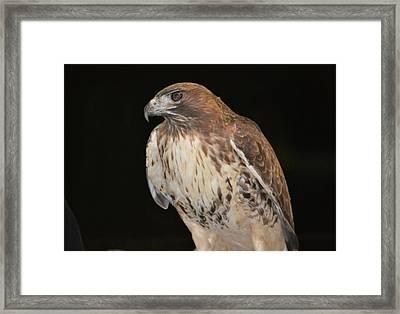Majestic Hawk Framed Print