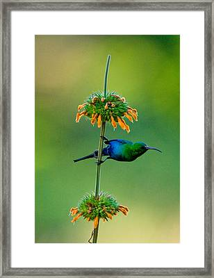 Malachite Sunbird Nectarinia Famosa Framed Print