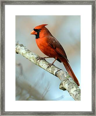 Male Cardinal Framed Print by Debbie Green