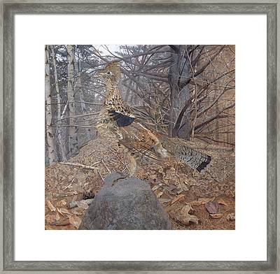 Male Ruffed Grouse In The Forest Framed Print
