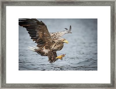 Male White-tailed Eagle Framed Print