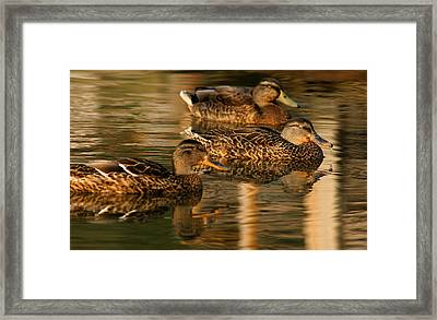 Mallards Swimming In The Water At Magic Hour Framed Print