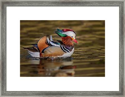 Framed Print featuring the photograph Mandarin Duck  by Susan Candelario