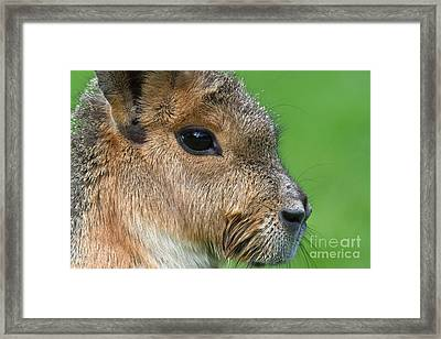 Mara Or Patagonian Hare Framed Print