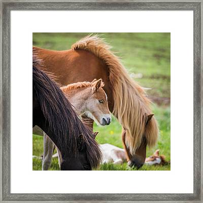 Mare And New Born Foal, Iceland Framed Print