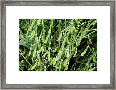 Maturing Gm Soybeans Framed Print by Inga Spence